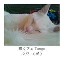 131226-01猫カフェTango シロ